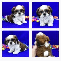 Shih Tzu Puppies for sale in Hagerstown, MD, USA. price: NA