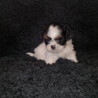 Shih Tzu Puppies for sale in 4028 S 28th St, Phoenix, AZ 85040, USA. price: NA