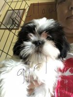 Shih Tzu Puppies for sale in Green Bay, WI, USA. price: NA
