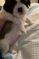 Shih Tzu Puppies for sale in Pompano Beach, FL, USA. price: NA