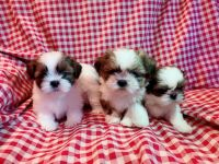 Shih Tzu Puppies for sale in Elk Grove Village, IL 60007, USA. price: NA