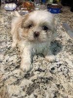 Shih Tzu Puppies for sale in Denham Springs, LA, USA. price: NA