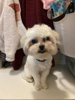 Shih Tzu Puppies for sale in Indianapolis, IN, USA. price: NA
