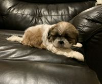 Shih Tzu Puppies for sale in Yucca Valley, CA 92284, USA. price: NA