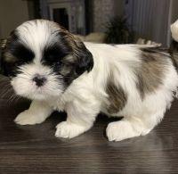 Shih Tzu Puppies for sale in Waco, TX, USA. price: NA