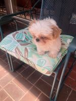 Shih Tzu Puppies for sale in Plano, TX, USA. price: NA