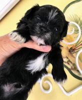 Shih Tzu Puppies for sale in Inman, SC 29349, USA. price: NA