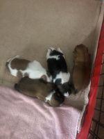 Shih Tzu Puppies for sale in Monroe, MI, USA. price: NA