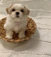 Shih Tzu Puppies for sale in Buckeye, AZ, USA. price: NA