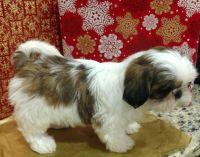 Shih Tzu Puppies for sale in Miami, FL, USA. price: NA