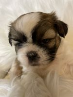 Shih Tzu Puppies for sale in Binghamton, NY, USA. price: NA