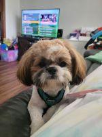 Shih Tzu Puppies for sale in Mason, TN 38049, USA. price: NA