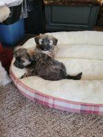 Shih Tzu Puppies for sale in Viroqua, WI 54665, USA. price: NA