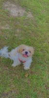 Shih Tzu Puppies for sale in Fayetteville, NC, USA. price: NA