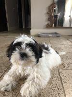 Shih Tzu Puppies for sale in Northville, MI 48168, USA. price: NA