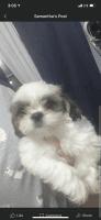 Shih Tzu Puppies for sale in Laredo, TX, USA. price: NA