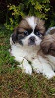 Shih Tzu Puppies for sale in Philadelphia, PA, USA. price: NA