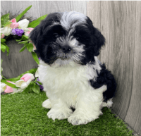 Shih Tzu Puppies for sale in Nashville, TN, USA. price: NA