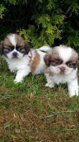 Shih Tzu Puppies for sale in Oklahoma City, OK, USA. price: NA