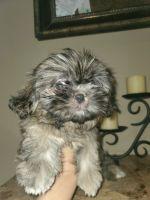 Shih Tzu Puppies for sale in Mesa, AZ, USA. price: NA