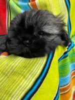 Shih Tzu Puppies for sale in Riverside, CA, USA. price: NA