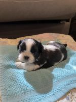 Shih Tzu Puppies for sale in Fordland, MO 65652, USA. price: NA