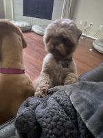 Shih Tzu Puppies for sale in Spring, TX 77373, USA. price: NA