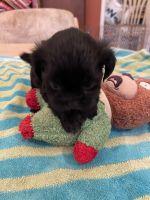 Shih Tzu Puppies for sale in Pensacola, FL, USA. price: NA