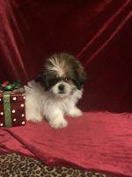 Shih Tzu Puppies for sale in New Orleans, LA, USA. price: NA