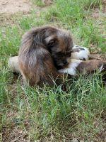 Shih Tzu Puppies for sale in Phoenix, AZ, USA. price: NA