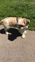 Shih Tzu Puppies for sale in Duluth, MN, USA. price: NA
