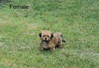Shih Tzu Puppies for sale in Richmond, VA, USA. price: NA
