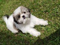 Shih Tzu Puppies for sale in Orlando, FL, USA. price: NA