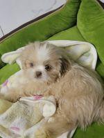 Shih Tzu Puppies for sale in Lincoln, RI, USA. price: NA