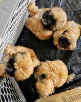 Shih Tzu Puppies for sale in Moreno Valley, CA, USA. price: NA
