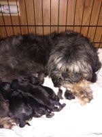 Shih Tzu Puppies for sale in Tucson, AZ, USA. price: NA