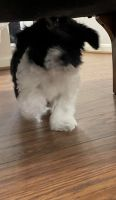 Shih Tzu Puppies for sale in Chantilly, VA, USA. price: NA