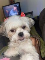Shih Tzu Puppies for sale in Sandy Springs, GA, USA. price: NA