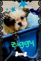 Shih Tzu Puppies for sale in 16303 Lyons School Rd, Spring, TX 77379, USA. price: NA
