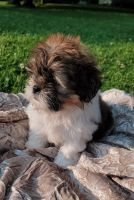 Shih Tzu Puppies for sale in Medina, OH 44256, USA. price: NA
