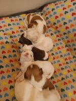 Shih Tzu Puppies for sale in Sterling, VA, USA. price: NA