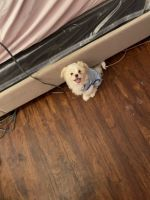 Shih Tzu Puppies for sale in Lowell, MA, USA. price: NA