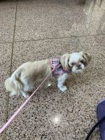 Shih Tzu Puppies for sale in Wanaque, NJ, USA. price: NA