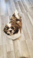 Shih Tzu Puppies for sale in 1312 Tracy Ln, Iowa City, IA 52240, USA. price: NA
