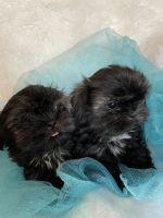 Shih Tzu Puppies for sale in Puyallup, WA, USA. price: NA