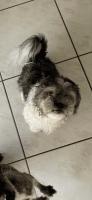 Shih Tzu Puppies for sale in Palm Beach Gardens, FL, USA. price: NA