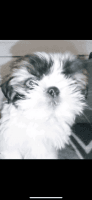 Shih Tzu Puppies for sale in Fort Worth, TX, USA. price: NA