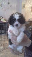 Shikoku Puppies Photos
