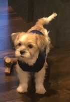 Shorkie Puppies for sale in Thiensville, WI 53092, USA. price: NA