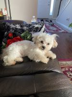 Shorkie Puppies for sale in Louisville, KY, USA. price: NA